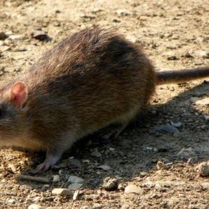 уничтожение крыс и мышей в Алматы