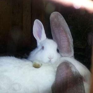 Продам кроликов великанов,  фландр,  белый,  серый великан.