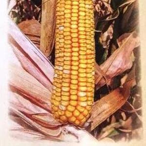 Семена кормовой кукурузы Машук 480 СВ
