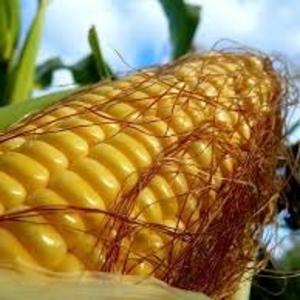 Высокоурожайные гибриды кукурузыПионер/Pioneer. Гибриды Венгрия