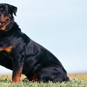 Куплю щенка ротвейлера,  недорого
