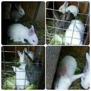 Продам кроликов Белый великан!