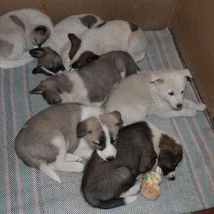 Продам щенков Западно-Сибирской Лайки!